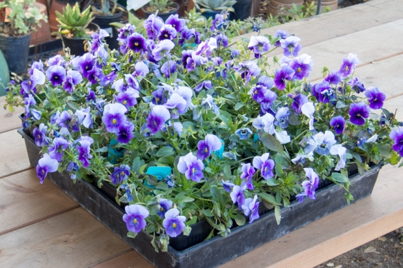 A Splash of Blue: Pansies