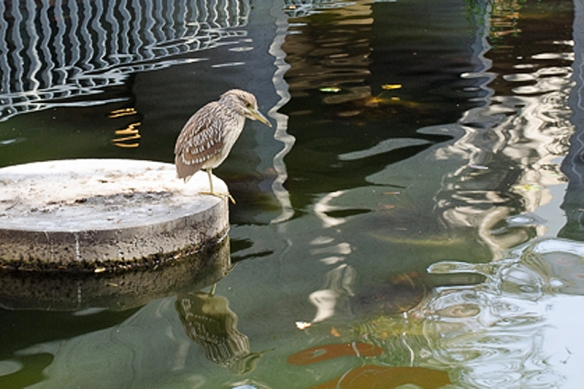 Black Crowned Night Heron looking into the Reflecting Pond. Oakland Museum of California