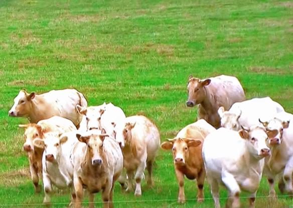 A Herd Watches The Action, Tour de France