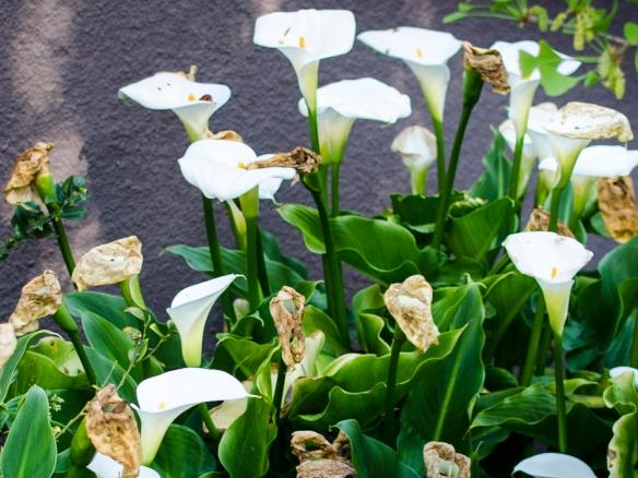 Calla Lillies nearing the end of their ephemeral season