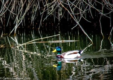 Malard, America's duck, Palo Alto