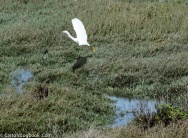Great Egret, Palo Alto